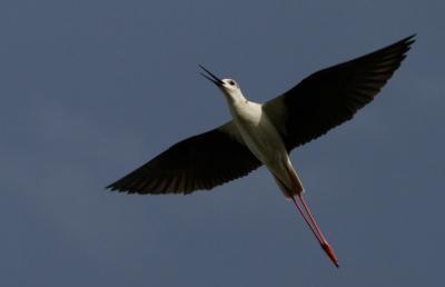 Gólyatöcs (Himantopus himantopus) - Hajnali madárles /fotó: Molnár Balázs/