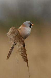Barkóscinege (Panurus biarmicus) - Hajnali madárles /fotó: Molnár Balázs/
