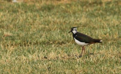 Bíbic (Vanellus vanellus) - Hajnali madárles /fotó: Molnár Balázs/