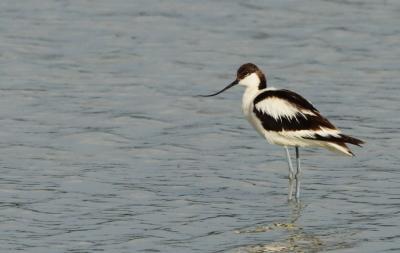 Gulipán (Recurvirostra avosetta) - Hajnali madárles /fotó: Molnár Balázs/