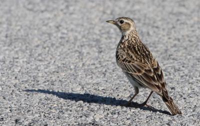 Mezei pacsirta (Alauda arvensis) - Hajnali madárles /fotó: Molnár Balázs/