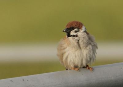 Mezei veréb (Passer montanus) - Hajnali madárles /fotó: Molnár Balázs/