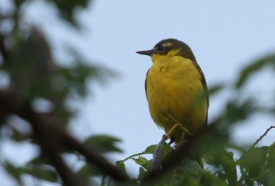 Sárga billegető (Motacilla flava) - Hajnali madárles /fotó: Molnár Balázs/