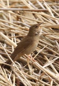 Nádi tücsökmadár (Locustella luscinioides) - Hajnali madárles /fotó: Molnár Balázs/